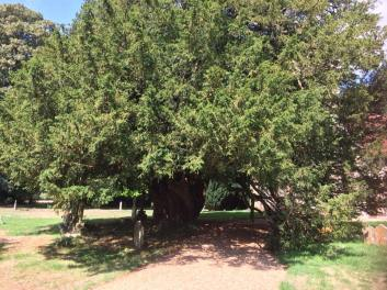 Old Yew Tree 2