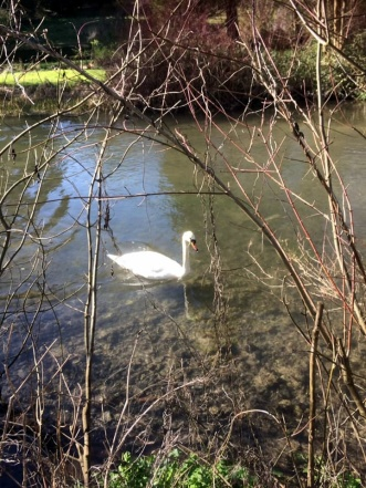 Swan on River Itchen