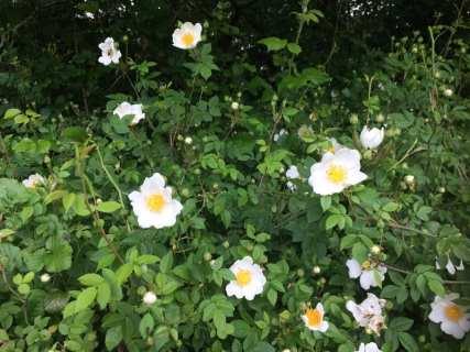 Wild Dog Roses